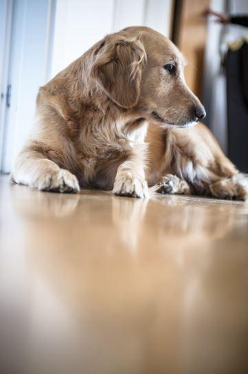 un chien de la race golden retriever allonge sur un parquet propre qui regarde sur sa gauche